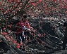 붉게 물든 구례 산수유마을, 산수유 수확 한창