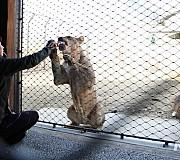 가깝게 관찰하는 사자 훈련 모습