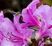 영산홍 꽃 향기에 날아든 검정넓적꽃등에