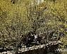 봄꽃축제의 시작 '구례 산수유꽃 축제'