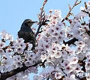 직박구리의 벚꽃 구경