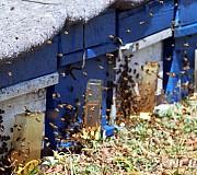 봄을 맞이하는 꿀벌
