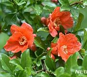 촉촉한 석류꽃