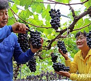 거봉 포도 수확하는 옥천 임숙재·이용윤 씨 부부
