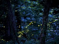 [도시樂] 혹시 우리 동네도? '자연의 빛' 전국 반딧불이 명소