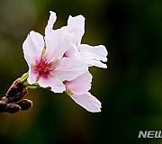 10월 중순에 피어난 벚꽃