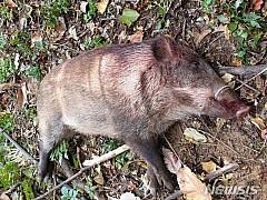 철원군 민통선 안 포획틀서 잡힌 멧돼지서 돼지열병 검출